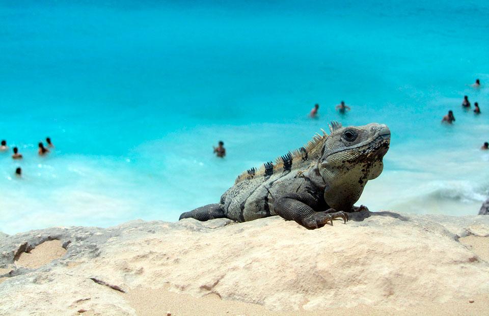 mayan tour iguana