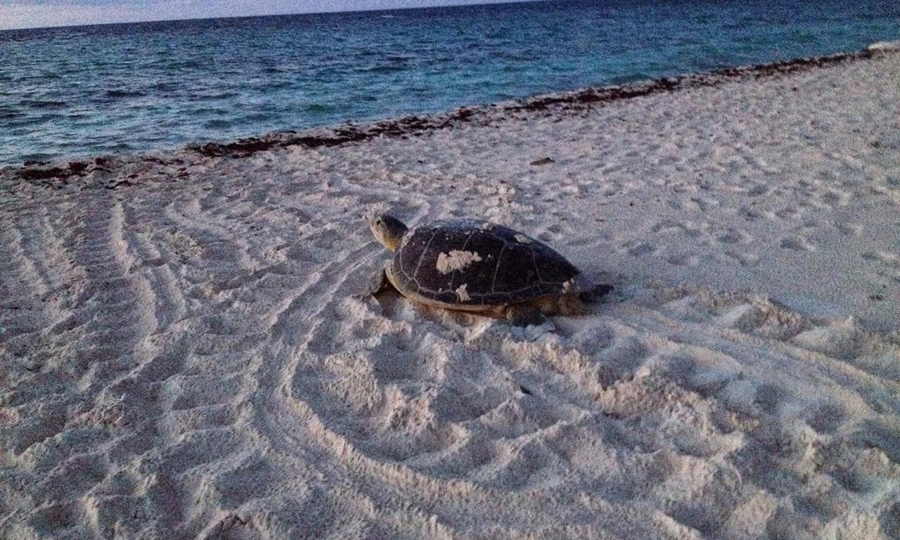Xcacel Turtle