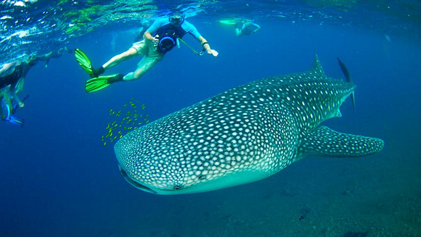 Nadando con el tiburón ballena riviera maya